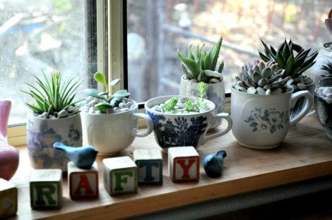 kaktusy w domu